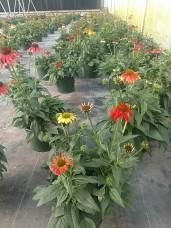 """10"""" Echinacea"""
