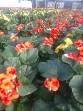 Rieger Begonias