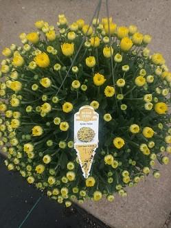 HB Mum Amiko Yellow