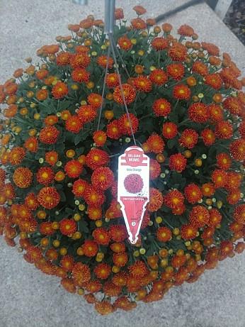 HB Mum Izola Orange