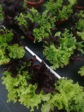 "14"" Lettuce Mix"