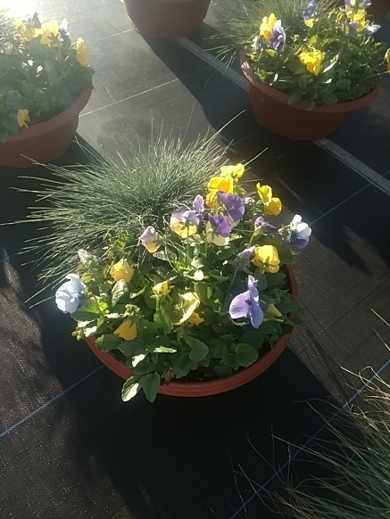 "14"" Pansy Bowl with Fescue"