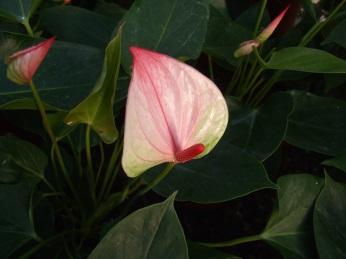 Pink Antherium