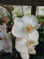 "6"" Orchid"