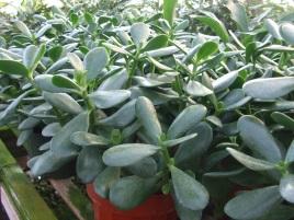 "6"" Jade Plant"