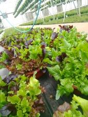 """14"""" Lettuce Bowl"""
