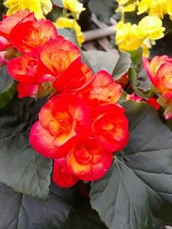 "6.5"" Rieger Begonia (Carneval)"
