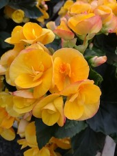 "6.5"" Rieger Begonia (Eva)"