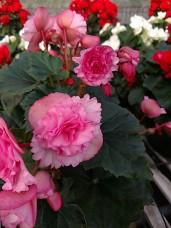 "6.5"" Rieger Begonia (Frivola)"