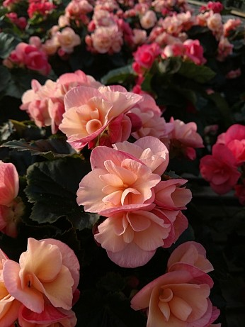 "6.5"" Rieger Begonia (Dragone Sunset)"