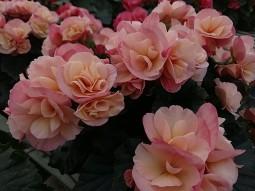 """Dragone Sunset 6.5"""" Begonia"""