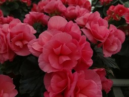 "Double Pink 6.5"" Begonia"
