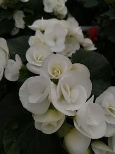 """White 6.5"""" Begonia"""