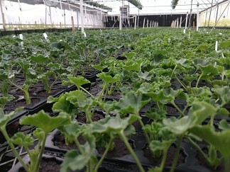 Geraniums are looking great!