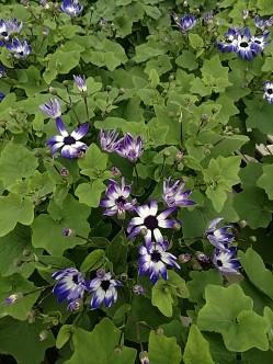 Senetti pericallis Blue Bicolor