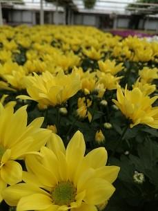 "6.5"" Florist Mum"
