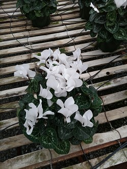 "6.5"" Cyclamen (See avail for deal!)"