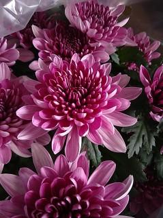 Spring Delano Cushion Florist Mum
