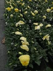 606 Pansy - Lemon