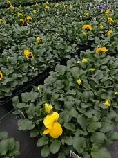 606 Pansy - Yellow Blotch