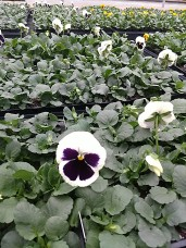 606 Pansy - White Blotch