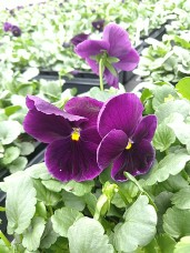 606 Pansy - Purple
