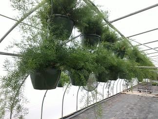 "10"" Asparagus Fern HB"