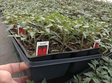 606 Tomatos are looking great! They need another week for root growth.