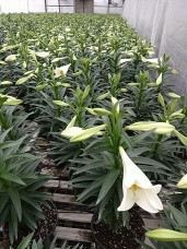 "6.5"" Easter Lily"
