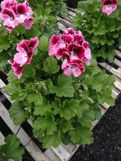 "6.5"" Regal Geranium"