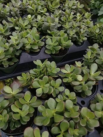 "4"" Jade Plant"