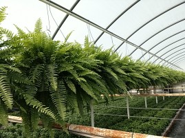 "10"" Boston Fern HB"