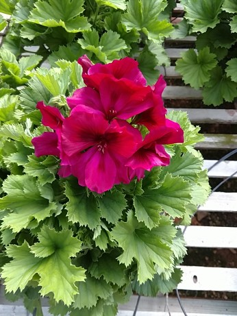 """6.5"""" Regal Geranium"""
