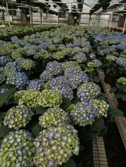 "8"" Blue Hydrangea"