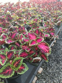 "Coleus ""French Quarter"""