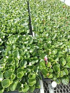 Bedding Begonia