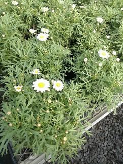 Argyranthemum White
