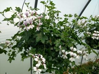 Ivy Geranium H.B.