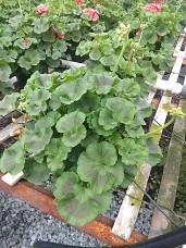 """6.5"""" Salmon Geranium - Buds"""