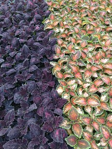 606 Coleus Black Dragon/Mix