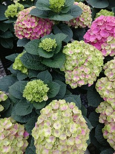 "8"" Hydrangea Magical Series - Pink"