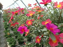 Mix Portulaca Basket