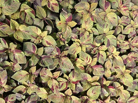 Mighty Mosaic Coleus