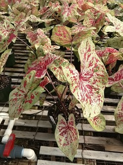 "6.5"" Caladium - Raspberry Moon"