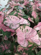 "6.5"" Caladium - Pink Splash"