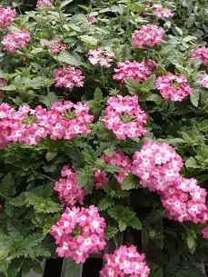 Aztec Pink Verbena