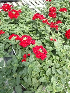 Red Endurascape Verbena