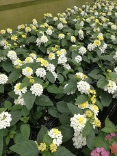 Lantana LL Lemon Cream