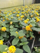 Lantana LL Pot of Gold