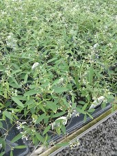 Euphorbia Breathless